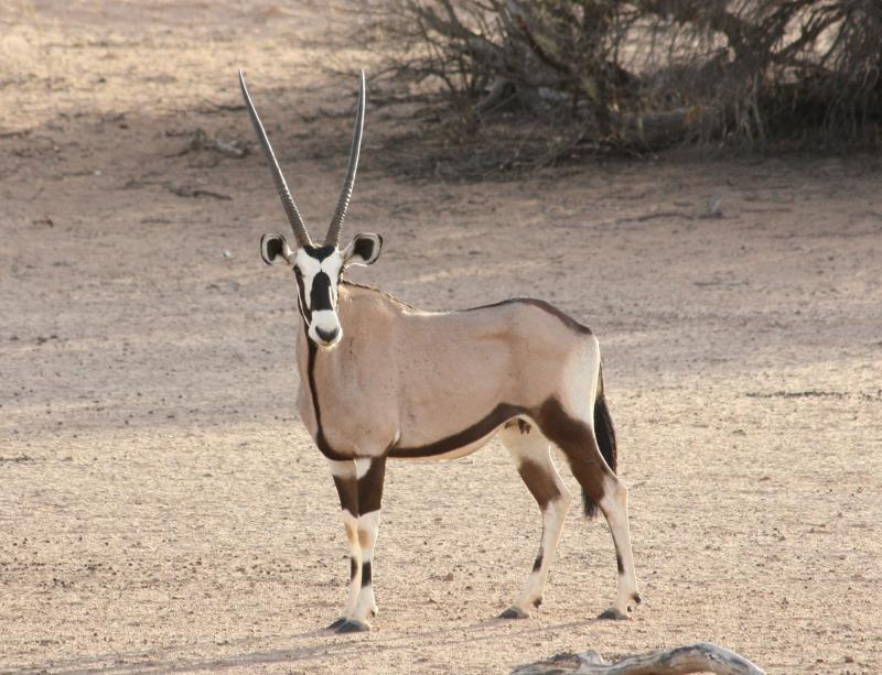 gemsbok interesting facts