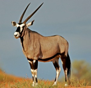 Gemsbok facts