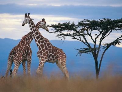 African giraffes information