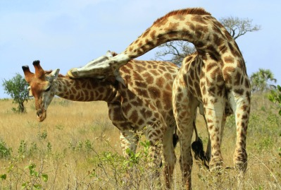 Giraffes fighting facts