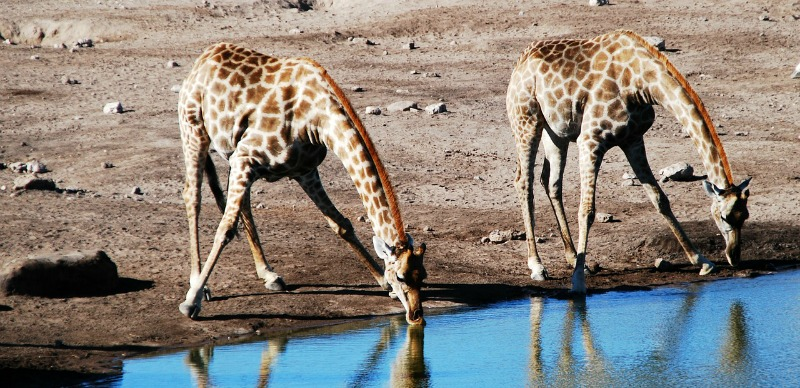 Fascinating giraffe facts you probably did not know | 800 x 388 jpeg 158kB