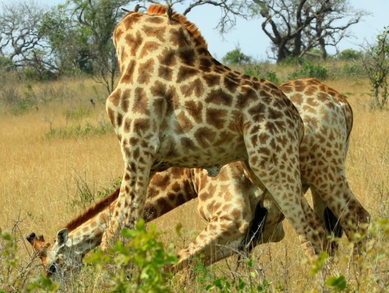 giraffe neck fight