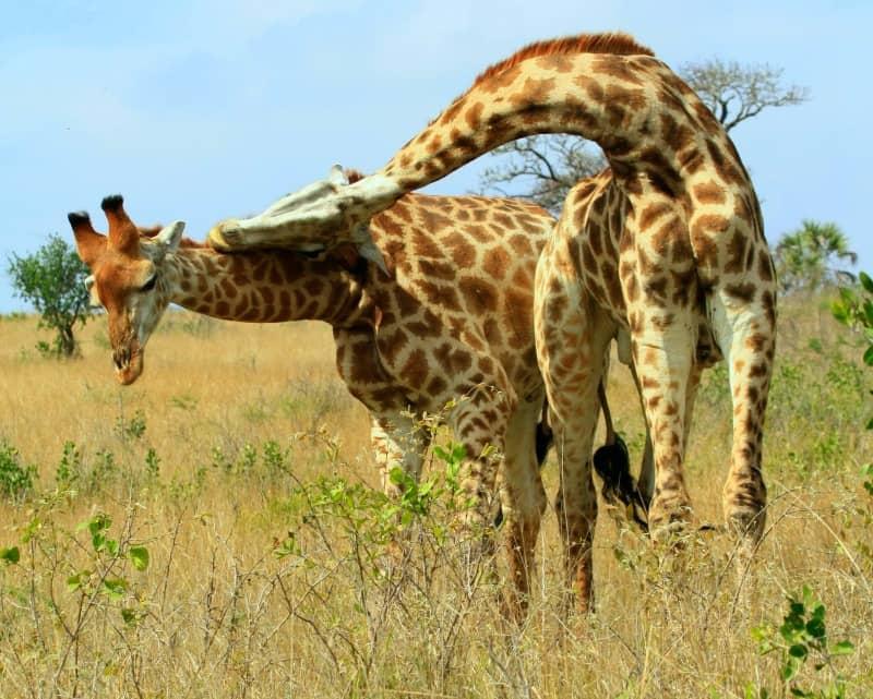 giraffes fighting