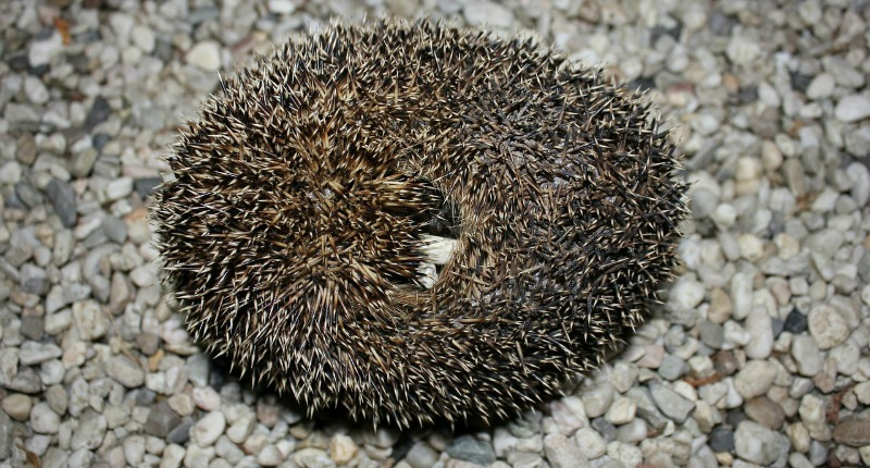 Hedgehog defense against predators
