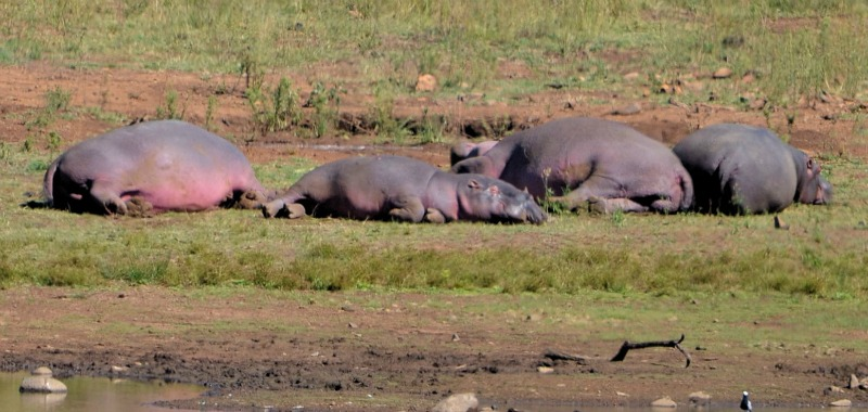 hippos out of water sunning themselves