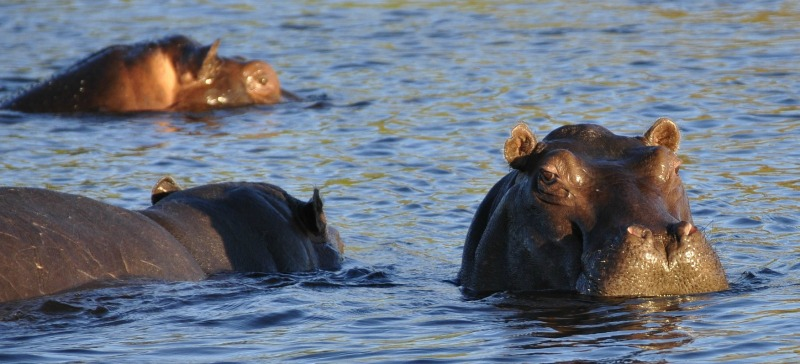 hippos swimming - Pictures Of Hippos