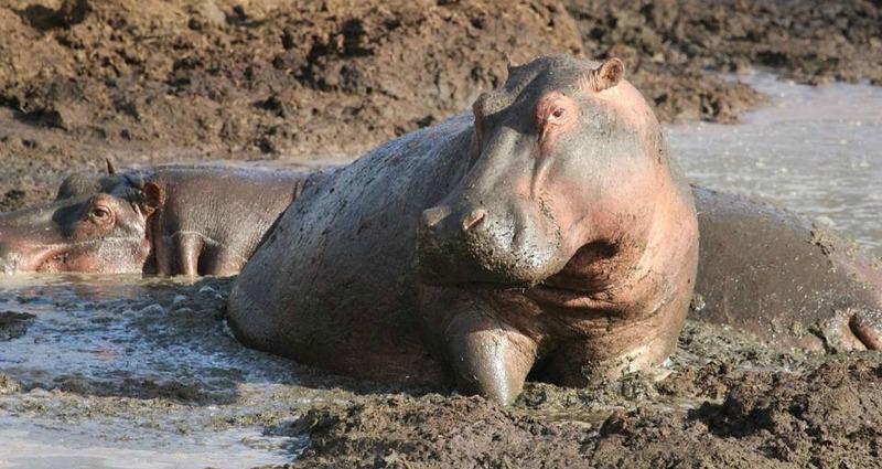 hippos habitat
