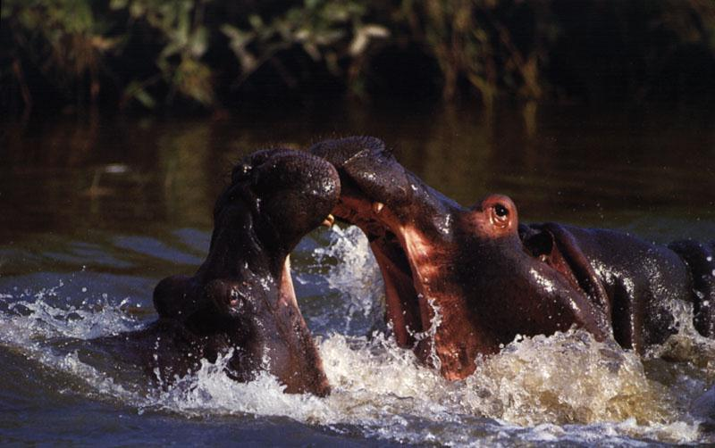 hippo fights for domination
