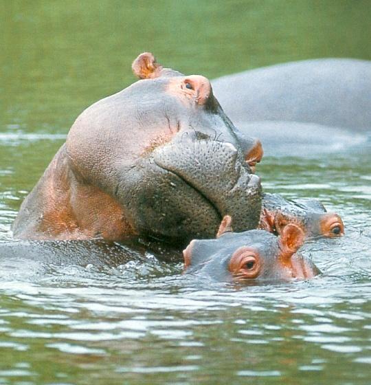 Hippopotamus, Hippo facts, Hippo pictures