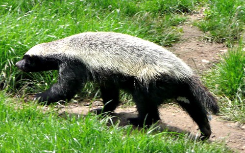 honey badger inormation