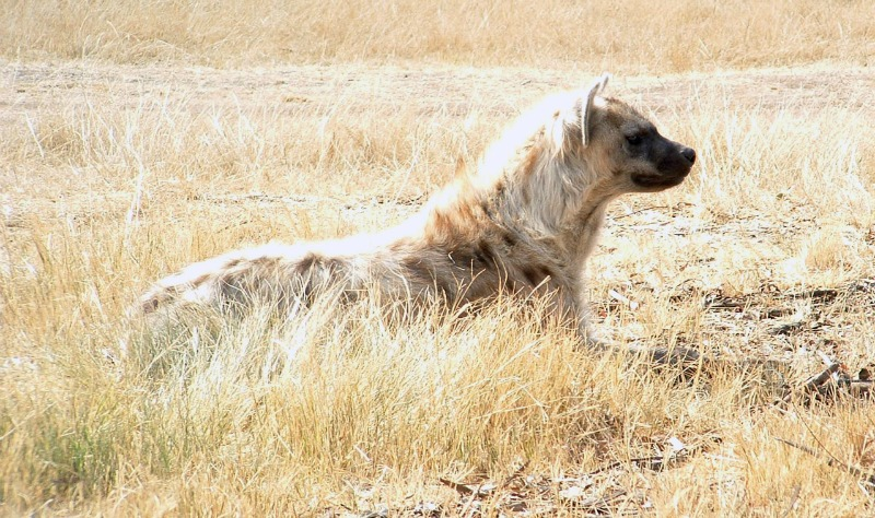 hyena fun facts