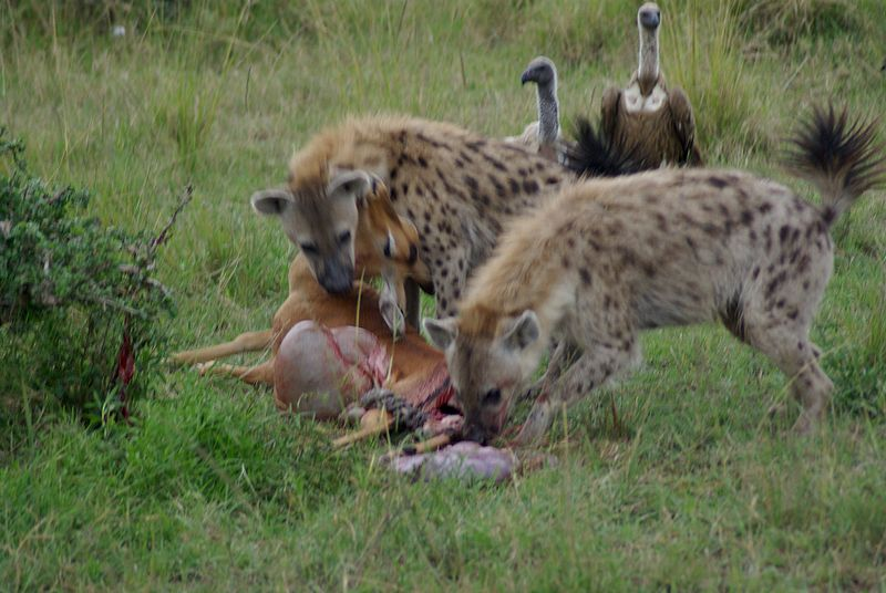 Image result for hyenas hunting prey