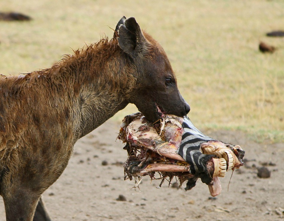 Hyena facts: is this a cowardly scavenger or an efficient ...