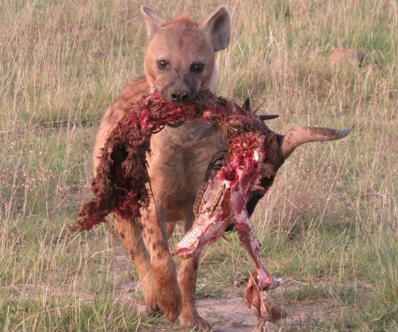 hyena diet