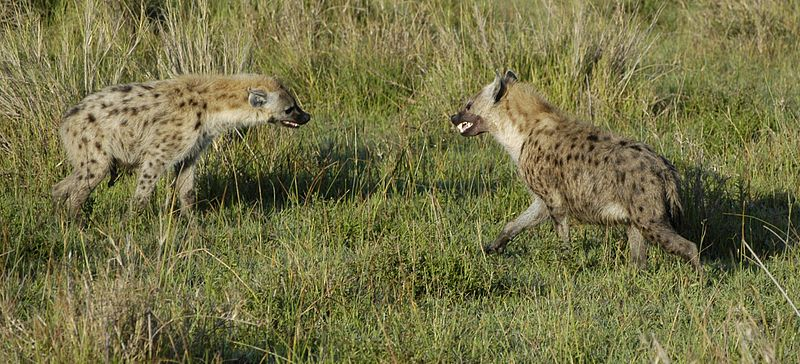 hyena interesting facts