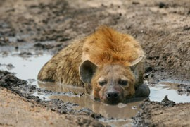 spotted hyena pictures