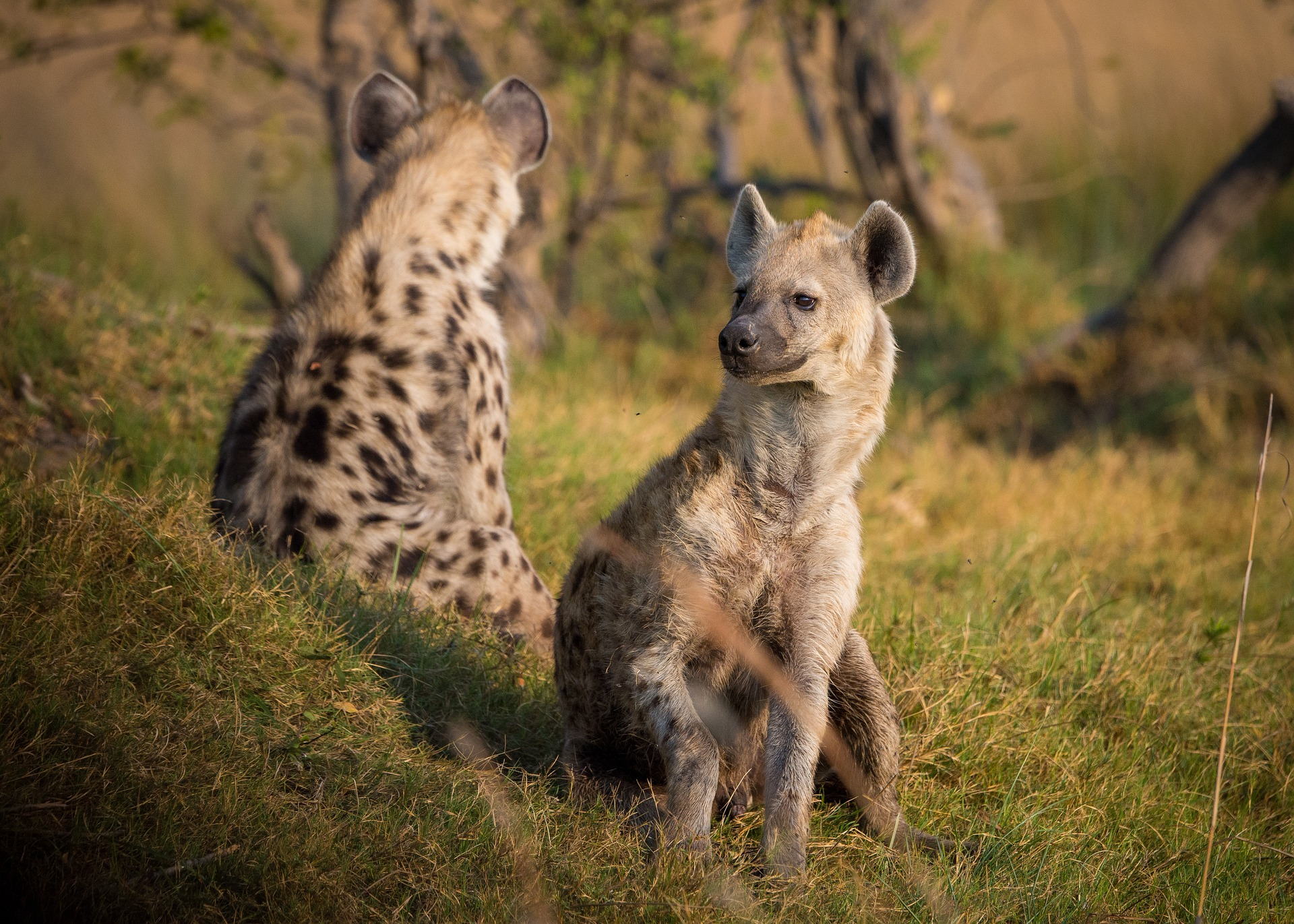 is a hyena a canine?