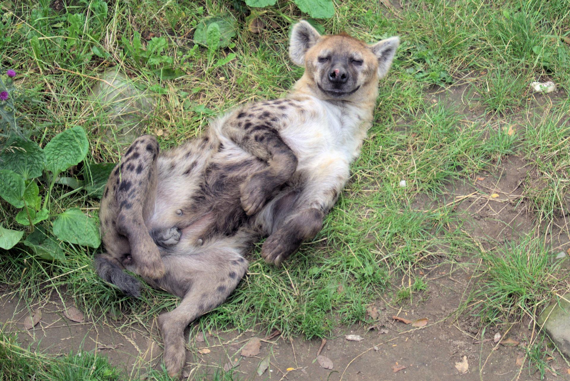how do hyenas give birth?