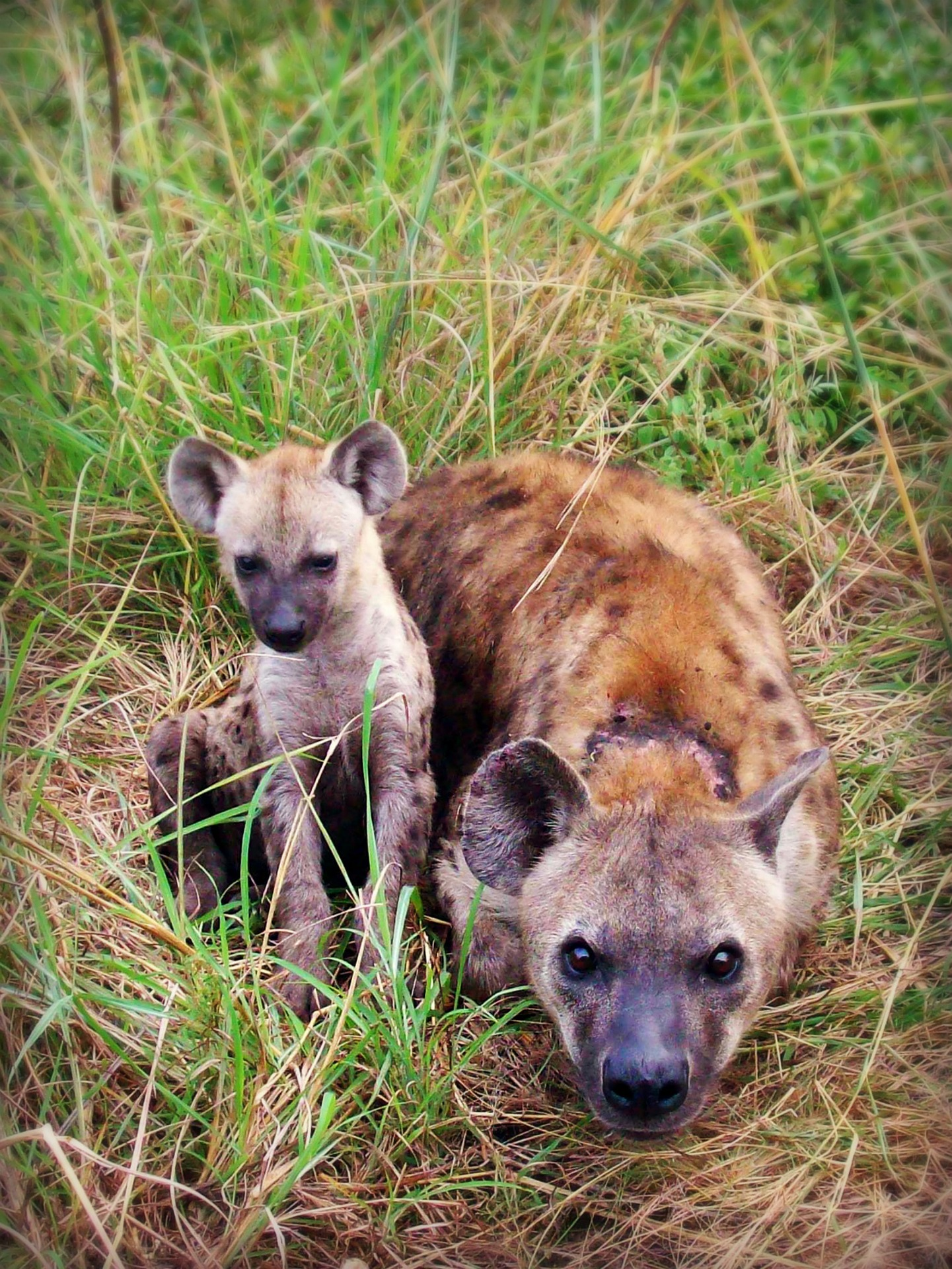 what species is a hyena