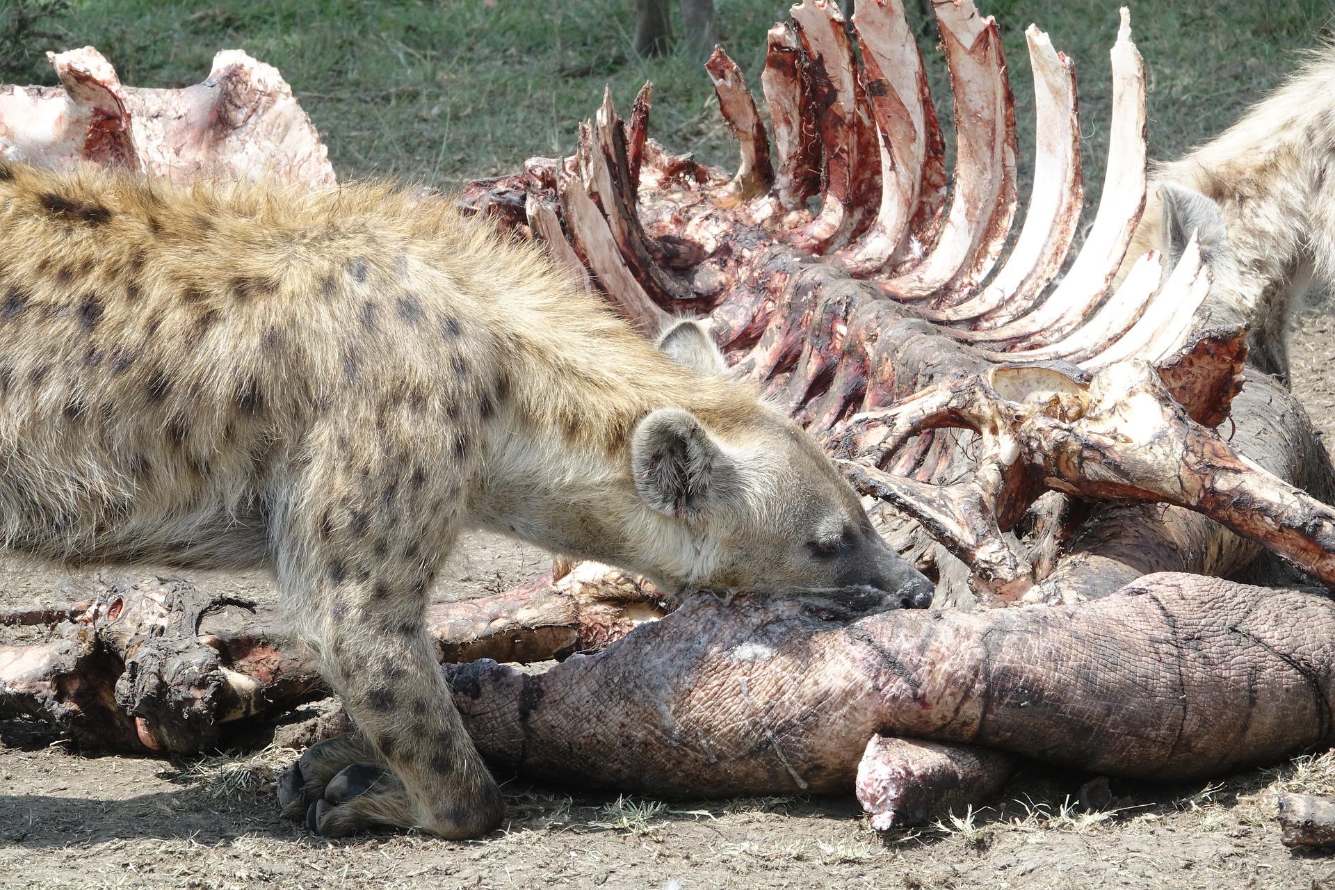 is a hyena a dog?