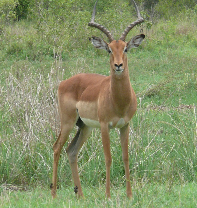 Impalas Discover Some Interesting And Unusual Animal Facts