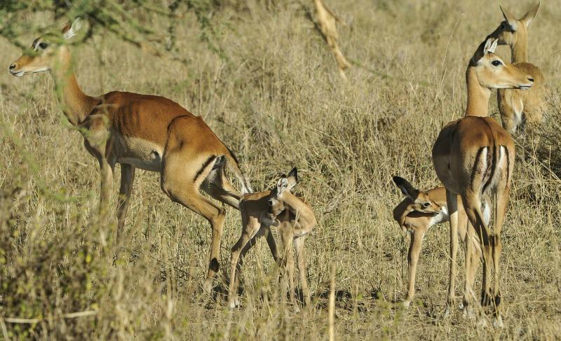 impala young