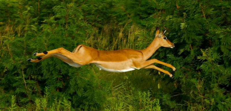 impala fleeing prey