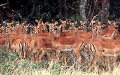 African impala images