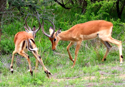 impalas fighting for dominance