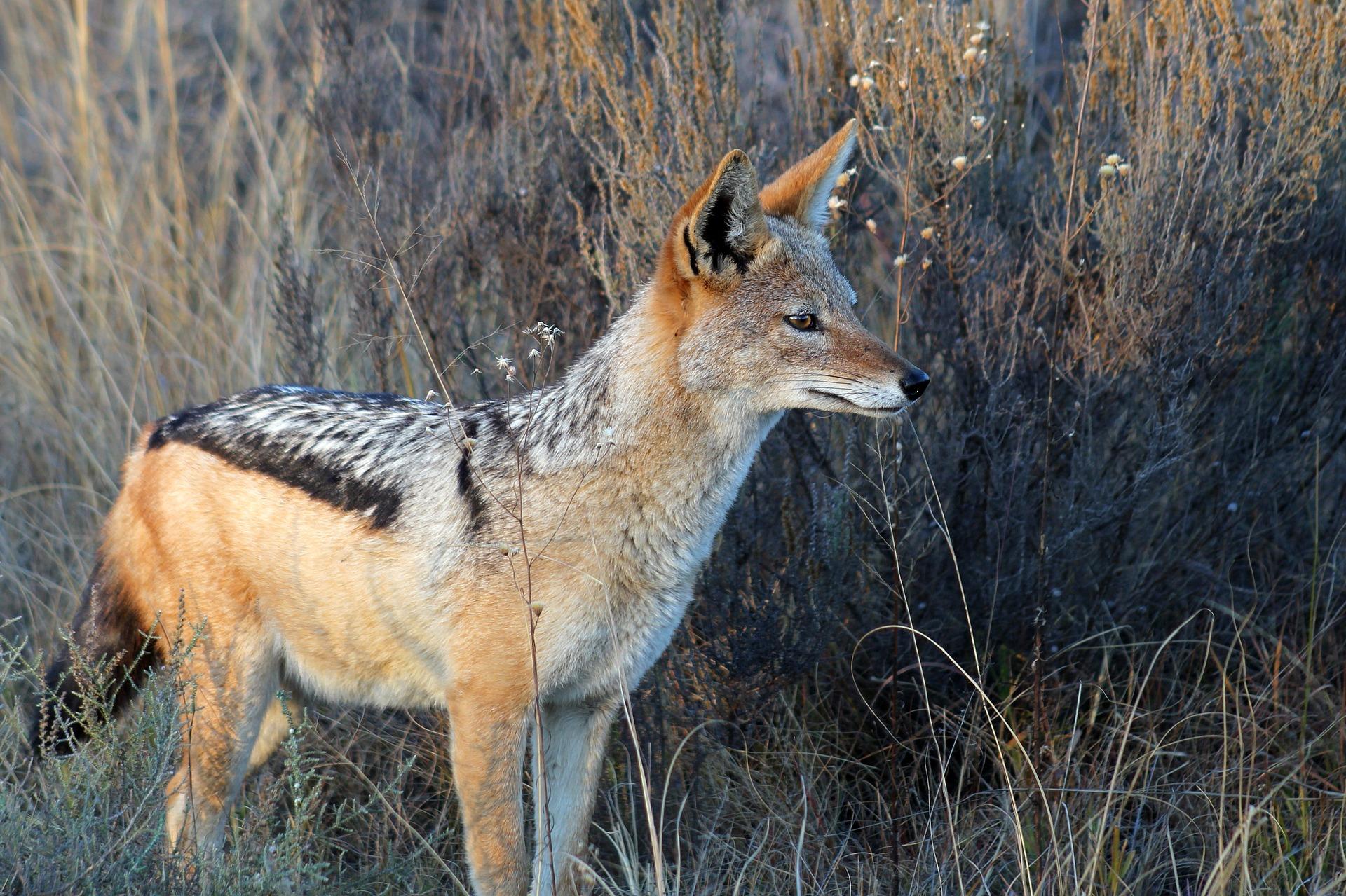 images of a jackal