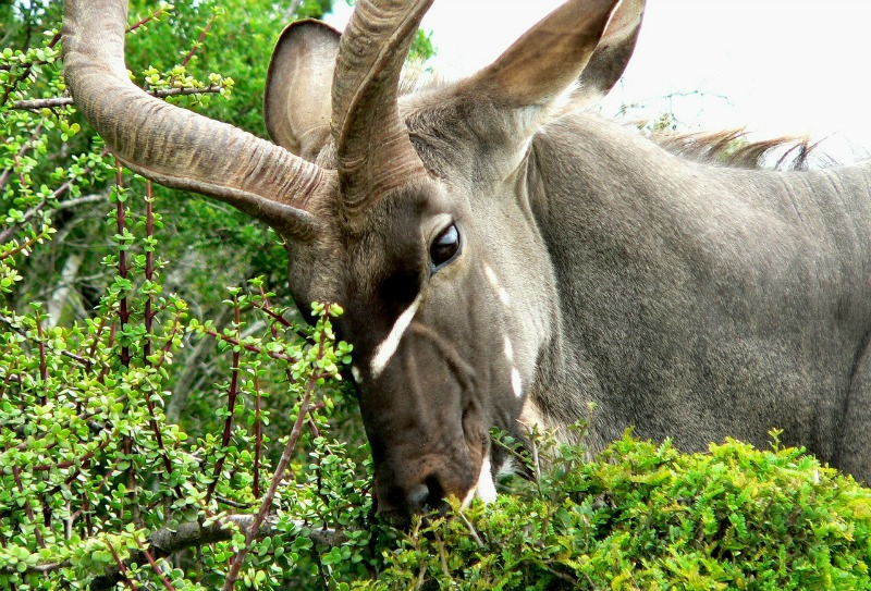 Greater kudu pictures