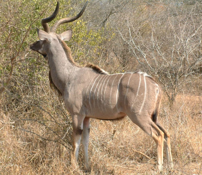kudu female photos