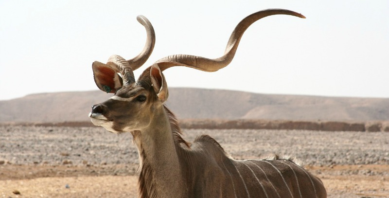 Kudu Discover interesting facts about this beautiful African