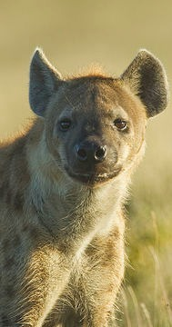 laughing hyena facts