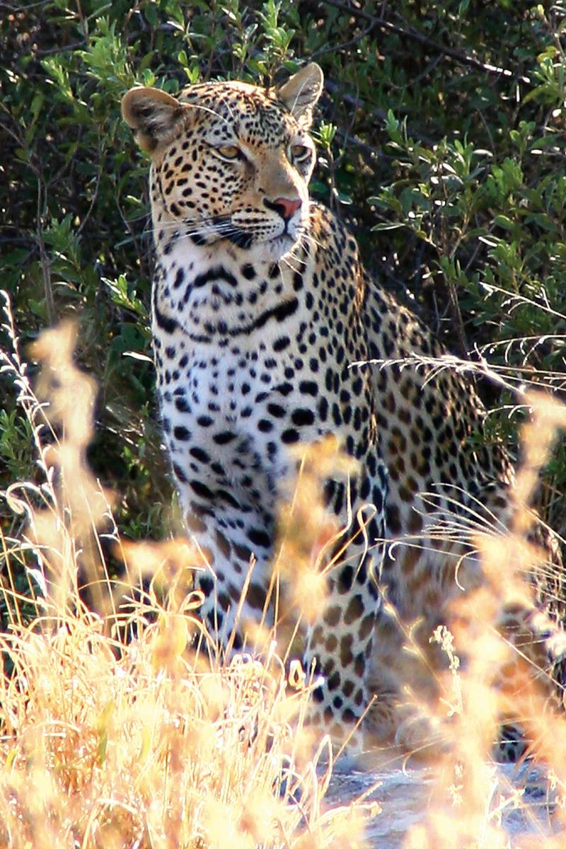 leopard behavior facts