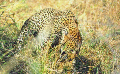 leopards breeding