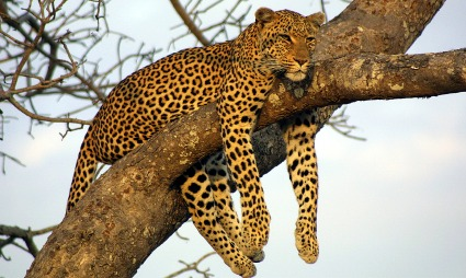 leopard behavior facts