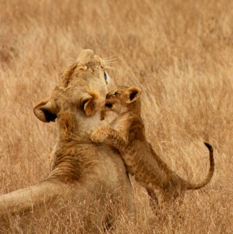 lion clubs playing