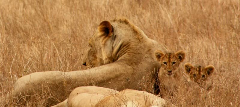 lion cubs and mom