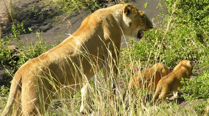 lion cubs habitat