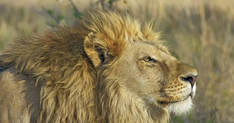 African Lions Is The Lion Male A Lazy And Useless Hunter