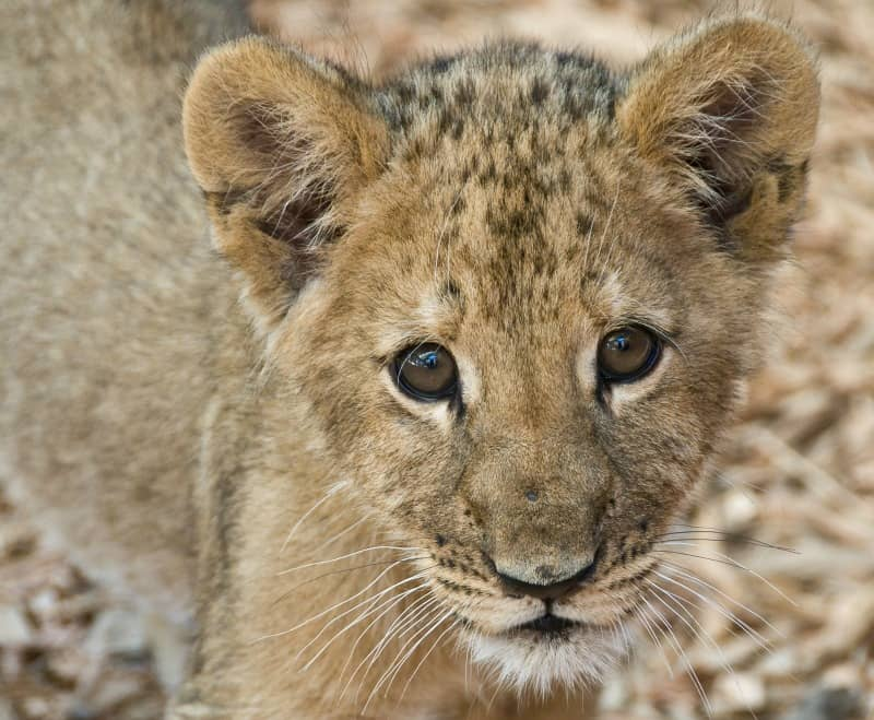 african lion cub facts