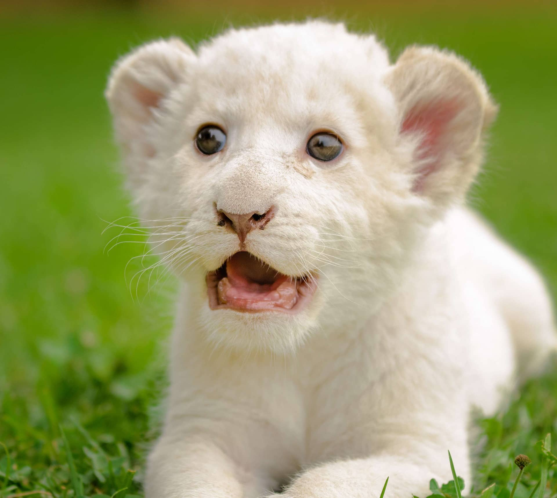 white lion baby cub images