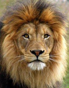 Lion head - photo#28
