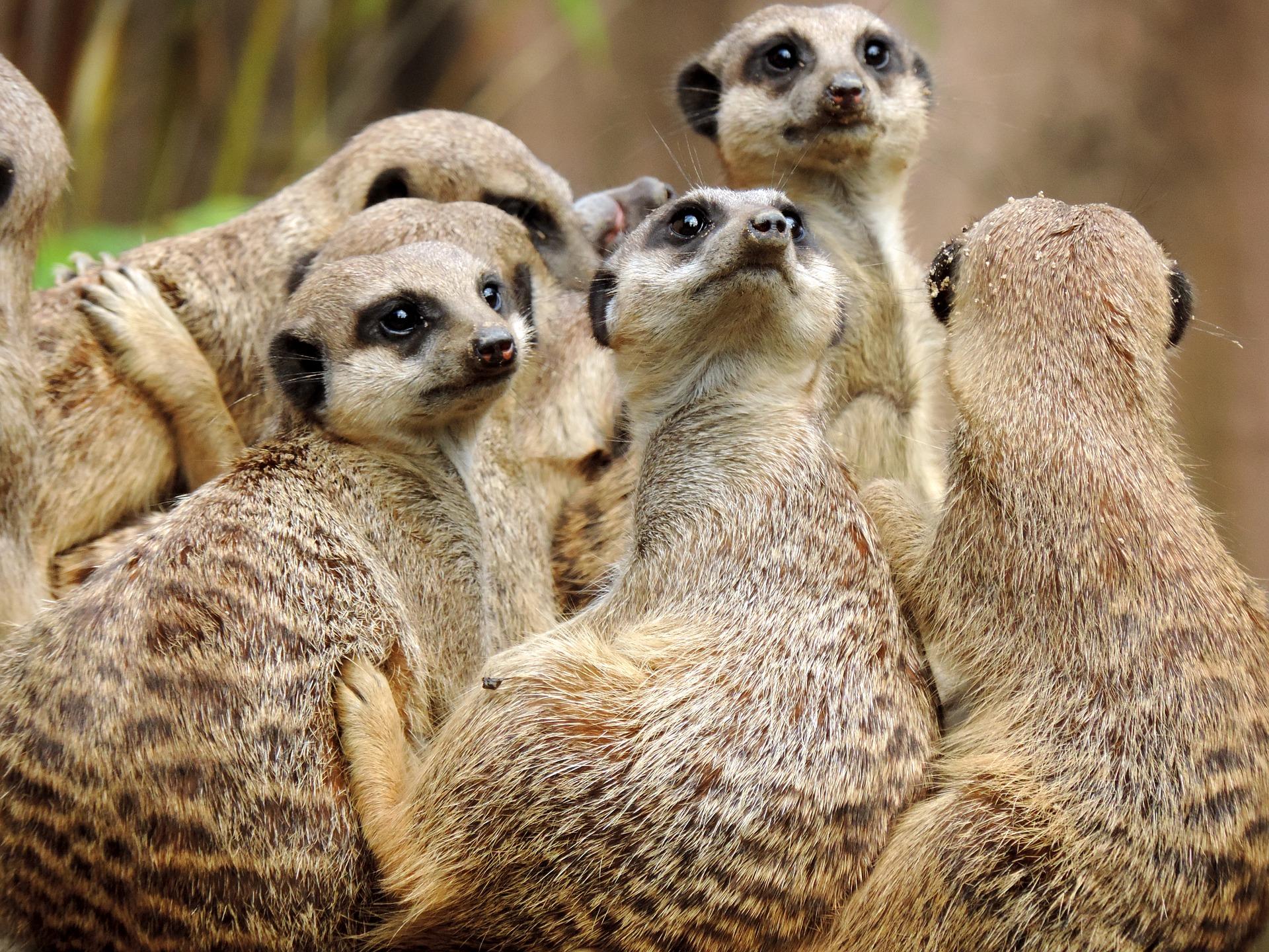 Meerkat pictures.