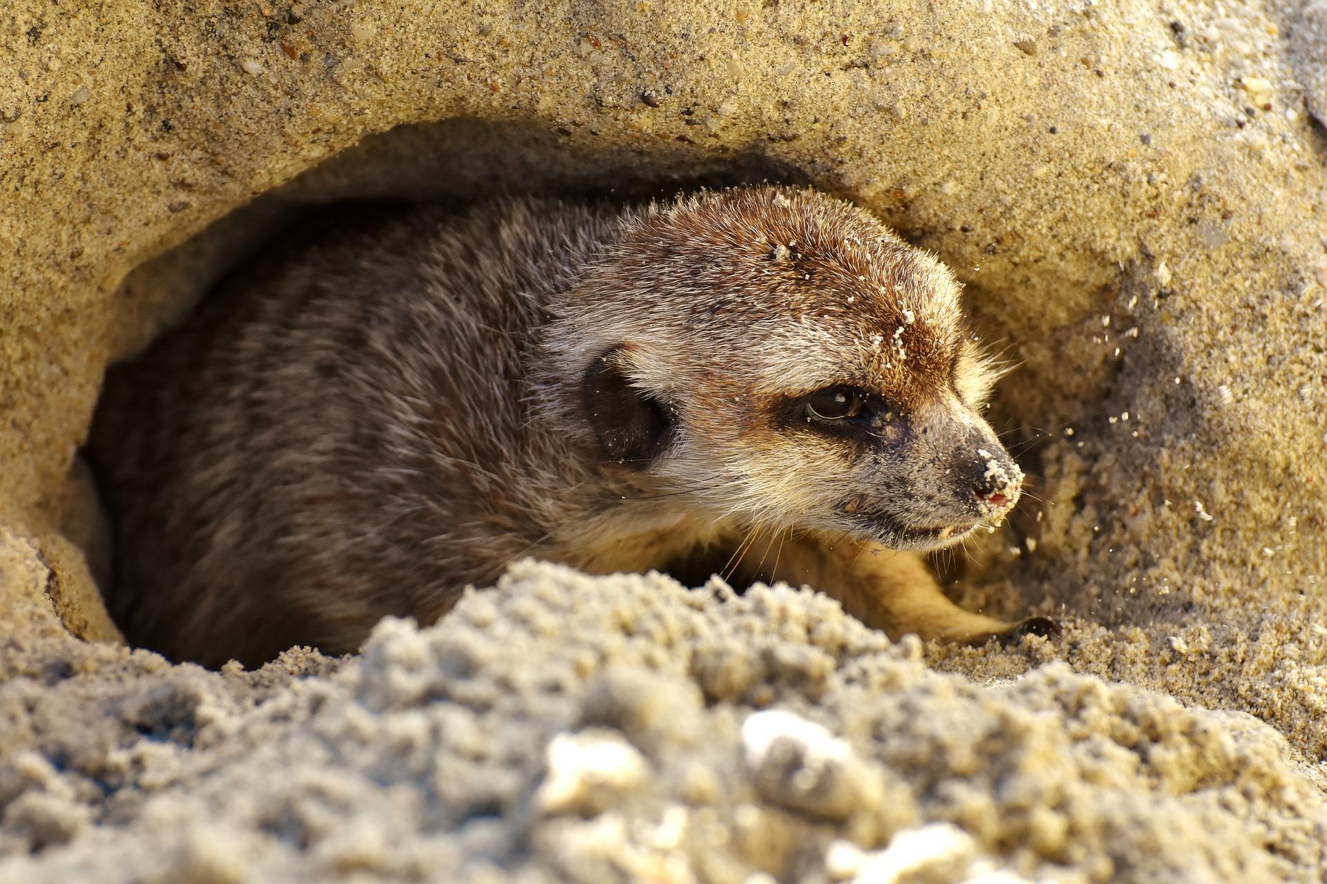 Where do meerkats sleep?