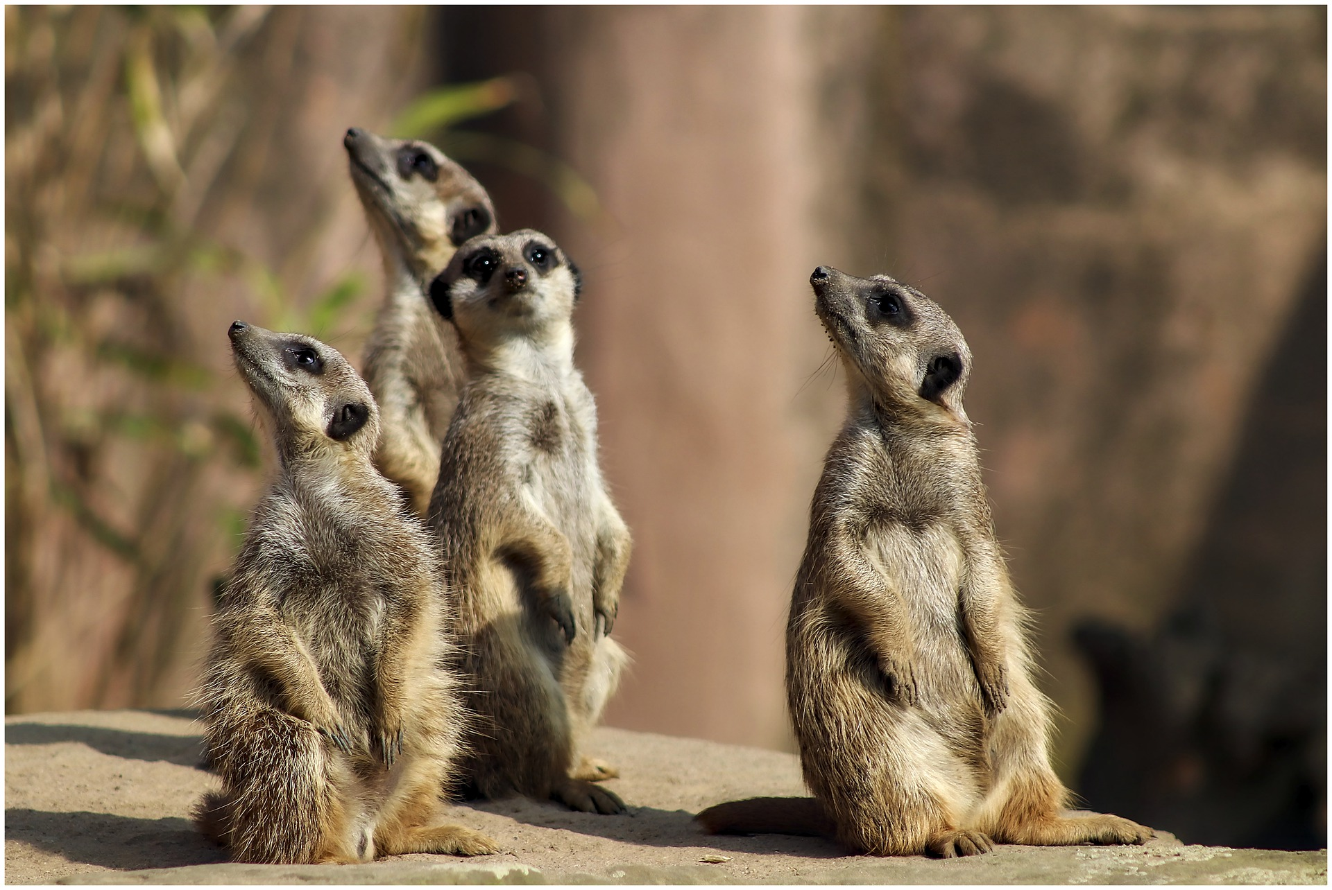 Why is a meerkat always on the lookout?