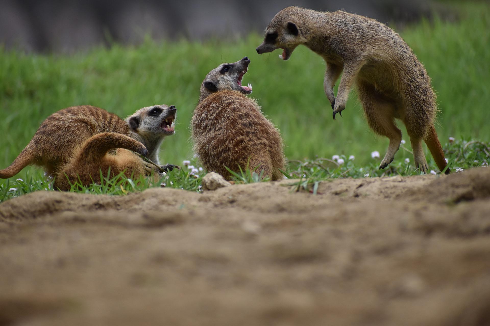 How do meerkats survive?