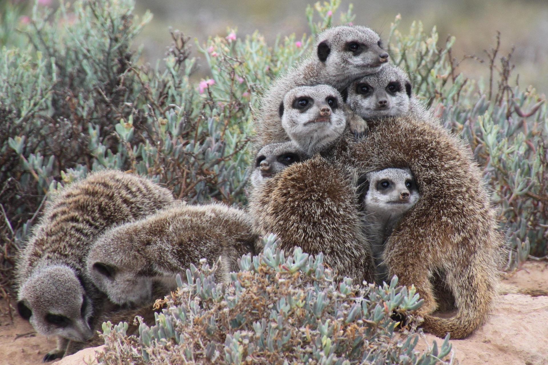 Where do meerkats live?