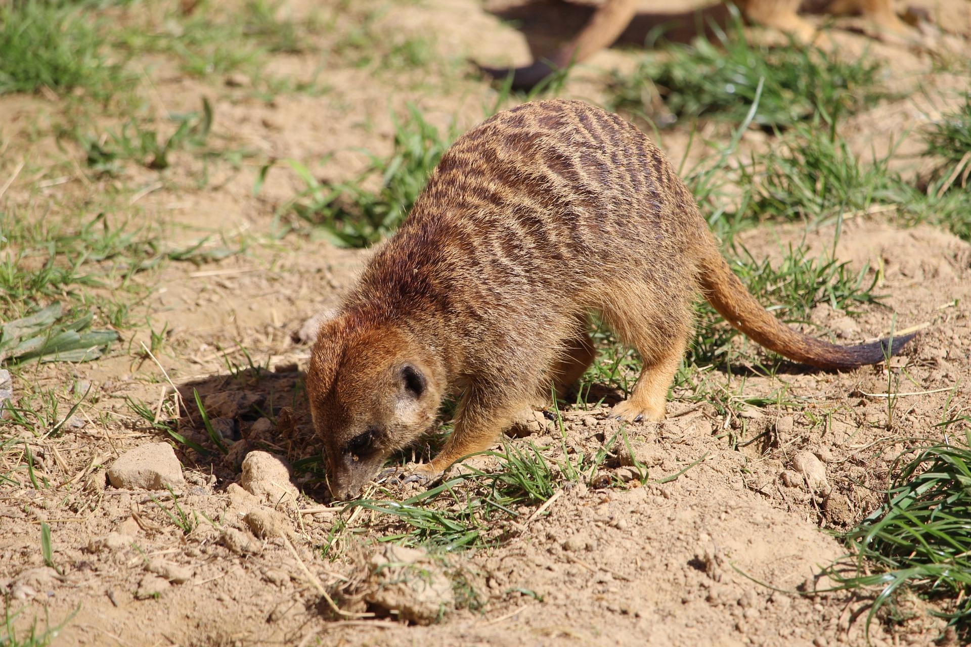 What do meerkats eat?
